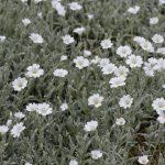 Bodendecker, weisse Blüten