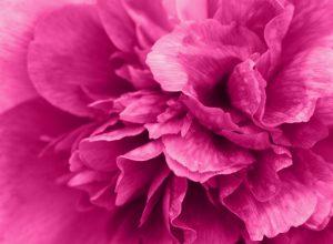 fotos simone boll webdesign pfingstrose